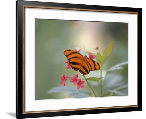 Close-up of Butterfly, St. Croix, VI-Ed Lallo-Framed Art Print