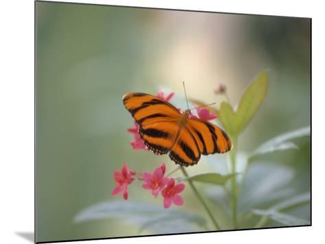 Close-up of Butterfly, St. Croix, VI-Ed Lallo-Mounted Photographic Print