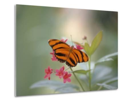 Close-up of Butterfly, St. Croix, VI-Ed Lallo-Metal Print