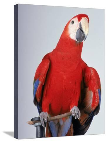 Scarlet Macaw-Dan Gair-Stretched Canvas Print