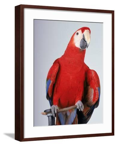 Scarlet Macaw-Dan Gair-Framed Art Print