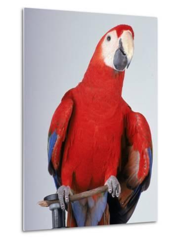 Scarlet Macaw-Dan Gair-Metal Print