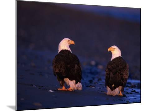 Bald Eagles, Haliaeetus Leucocephalus, AK-D^ Robert Franz-Mounted Photographic Print
