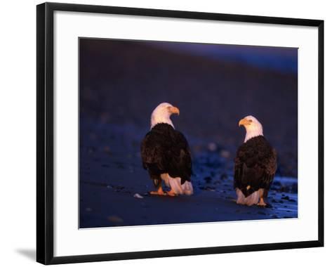 Bald Eagles, Haliaeetus Leucocephalus, AK-D^ Robert Franz-Framed Art Print