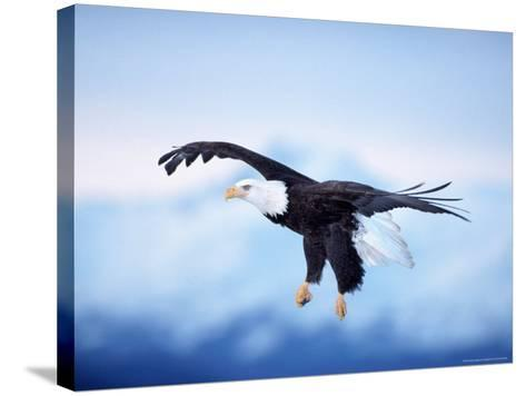 Bald Eagle, Haliaeetus Leucocephalus, AK-D^ Robert Franz-Stretched Canvas Print