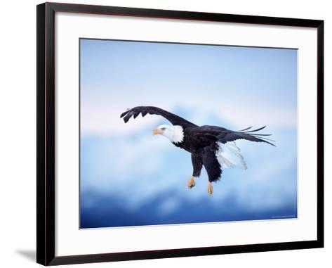 Bald Eagle, Haliaeetus Leucocephalus, AK-D^ Robert Franz-Framed Art Print