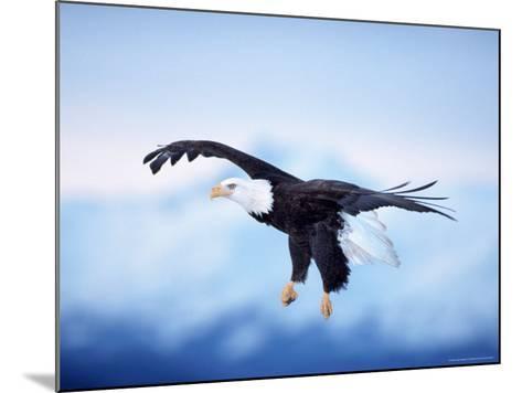 Bald Eagle, Haliaeetus Leucocephalus, AK-D^ Robert Franz-Mounted Photographic Print