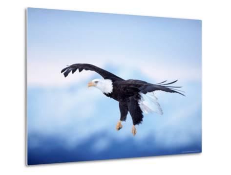 Bald Eagle, Haliaeetus Leucocephalus, AK-D^ Robert Franz-Metal Print