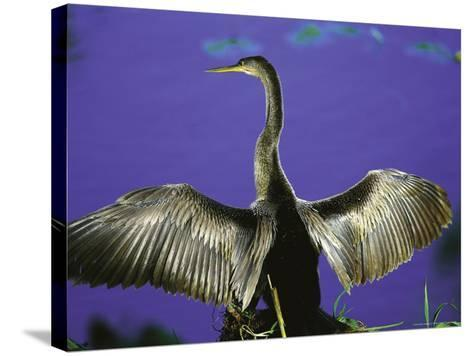Anhinga Drying Wings-Timothy O'Keefe-Stretched Canvas Print