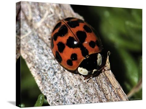 Lady Bug, Coccinellidae-Larry Jernigan-Stretched Canvas Print