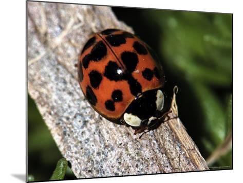 Lady Bug, Coccinellidae-Larry Jernigan-Mounted Photographic Print