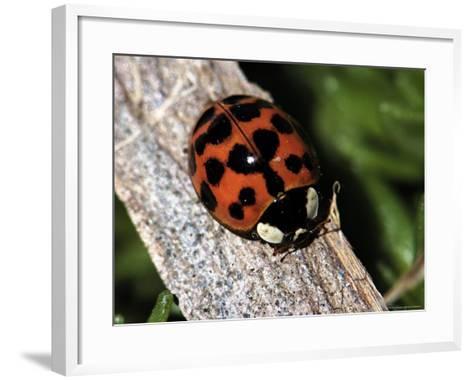 Lady Bug, Coccinellidae-Larry Jernigan-Framed Art Print