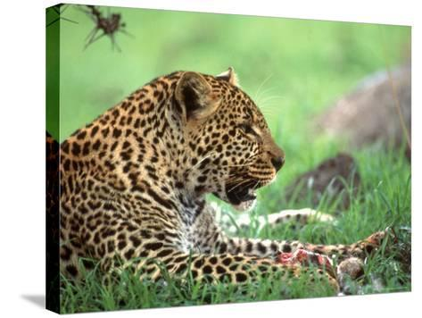 Kenya, Africa, Leopard, Panthera Pardus--Stretched Canvas Print