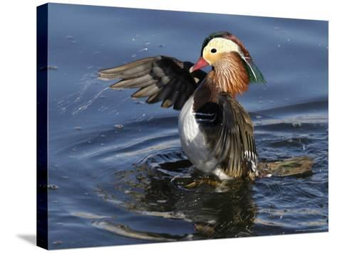 Mandarin Duck Wing Flapping-Russell Burden-Stretched Canvas Print