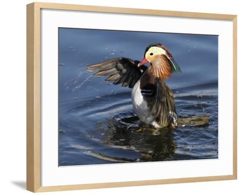 Mandarin Duck Wing Flapping-Russell Burden-Framed Art Print