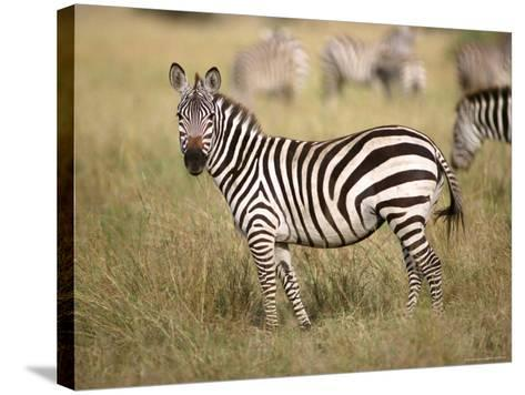 Zebras, Ngorongoro Crater, Africa-Keith Levit-Stretched Canvas Print