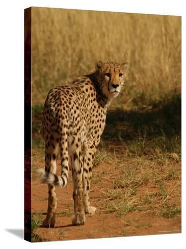 Cheetah, Nambia Africa-Keith Levit-Stretched Canvas Print