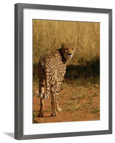 Cheetah, Nambia Africa-Keith Levit-Framed Art Print