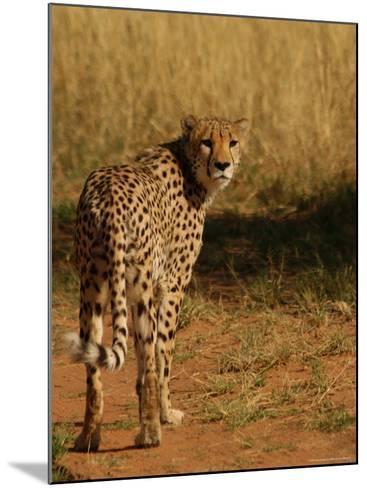 Cheetah, Nambia Africa-Keith Levit-Mounted Photographic Print