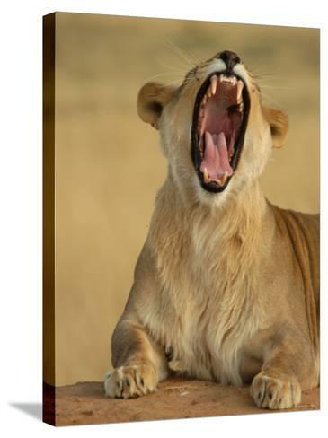 Lion Roaring, Namibia, South Africa-Keith Levit-Stretched Canvas Print