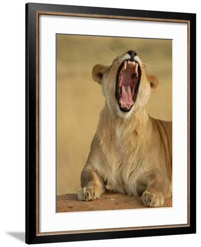 Lion Roaring, Namibia, South Africa-Keith Levit-Framed Art Print
