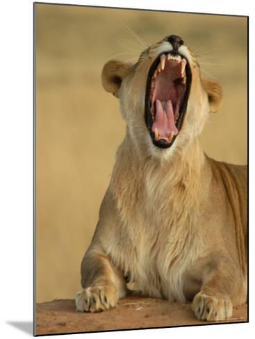 Lion Roaring, Namibia, South Africa-Keith Levit-Mounted Photographic Print