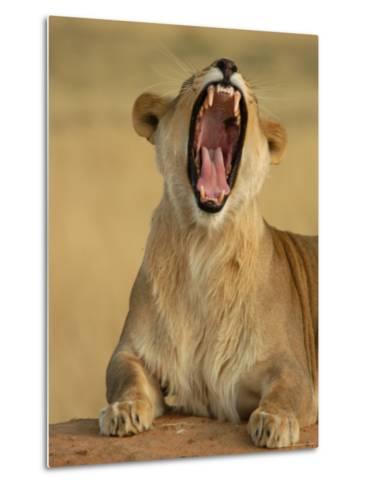 Lion Roaring, Namibia, South Africa-Keith Levit-Metal Print