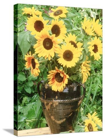 Helianthus (Sunflower) in Brown Glazed Jug, with Delphinium, on Table-Lynne Brotchie-Stretched Canvas Print