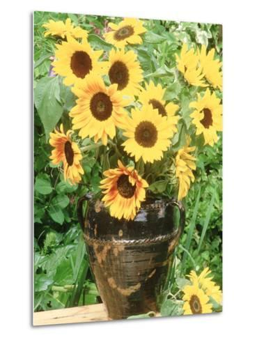 Helianthus (Sunflower) in Brown Glazed Jug, with Delphinium, on Table-Lynne Brotchie-Metal Print