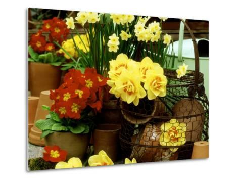 """Narcissus """"Tahiti"""" and """"Minnow"""" (Daffodil) with Red Polyanthus Plant-James Guilliam-Metal Print"""