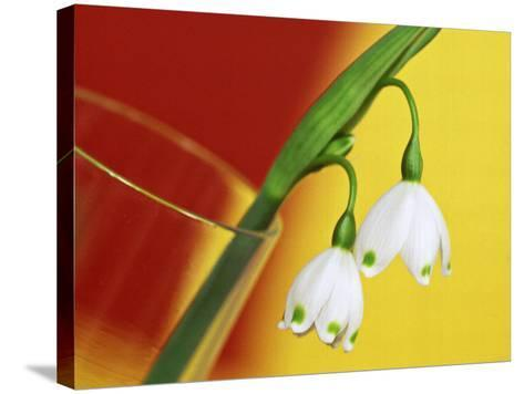 """Leucojum Vernum """"Spring Snowflake"""" in Glass Vase with Red & Yellow Background-James Guilliam-Stretched Canvas Print"""