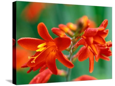 "Crocosmia, ""Red Knight,"" Close-up of Red Flowers-Lynn Keddie-Stretched Canvas Print"