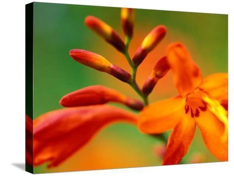 "Crocosmia ""Venus,"" Close-up of Orange/Red Flower Head-Lynn Keddie-Stretched Canvas Print"