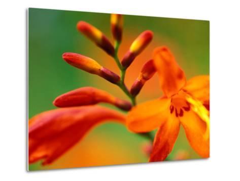 """Crocosmia """"Venus,"""" Close-up of Orange/Red Flower Head-Lynn Keddie-Metal Print"""