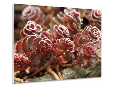"Sedum Spurium ""Dragons Blood"" (Stonecrop), October-Lynn Keddie-Metal Print"
