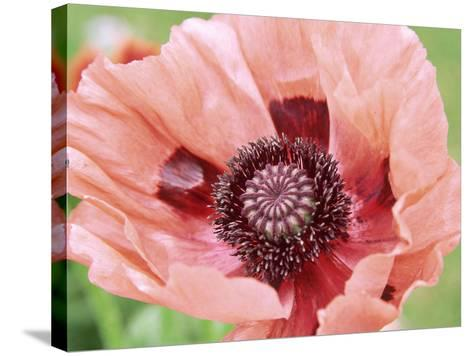 Papaver Fiesta, Salmon Coloured Flower with Anthers-Lynn Keddie-Stretched Canvas Print