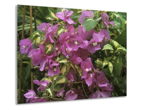 "Bougainvillea ""Turkish Delight"" Close-up of Flowers-Michele Lamontagne-Metal Print"