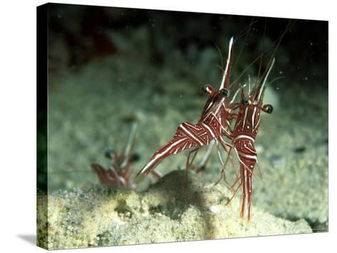 Hingeback Shrimp, Dancing, New Caledonia-Tobias Bernhard-Stretched Canvas Print