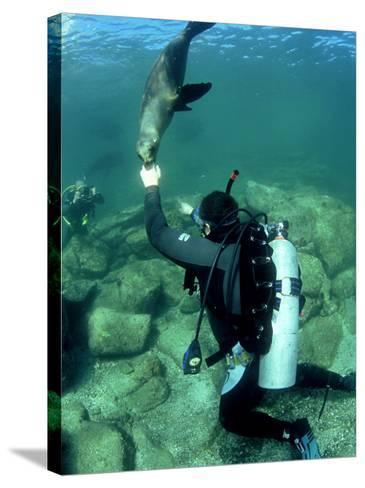 Diver with Californian Sea Lion, Mexico-Tobias Bernhard-Stretched Canvas Print