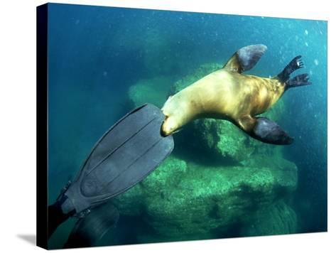 Diver Playing with Californian Sea Lion, Mexico-Tobias Bernhard-Stretched Canvas Print