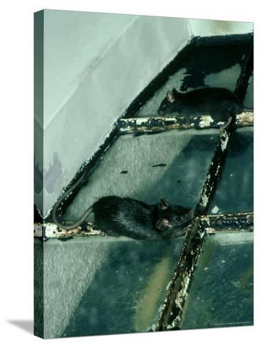 Black Rat, Rattus Rattus-Liz Bomford-Stretched Canvas Print
