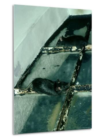 Black Rat, Rattus Rattus-Liz Bomford-Metal Print