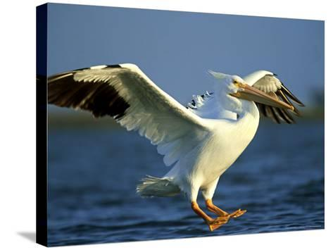 American White Pelican, Texas, USA-Olaf Broders-Stretched Canvas Print