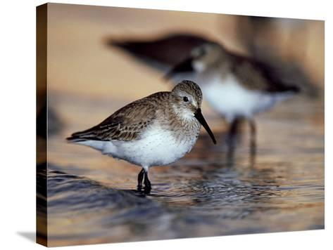 Western Sandpiper, Florida, USA-Olaf Broders-Stretched Canvas Print