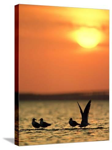Laughing Gulls, Texas, USA-Olaf Broders-Stretched Canvas Print