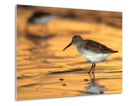 Western Sandpiper, Florida, USA-Olaf Broders-Metal Print