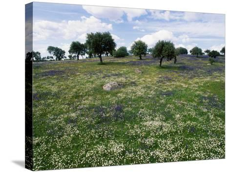 Flowering Meadow with Quercus Ilex, Extremadura, Spain-Olaf Broders-Stretched Canvas Print