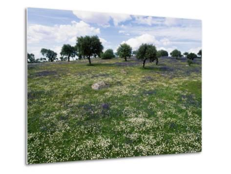 Flowering Meadow with Quercus Ilex, Extremadura, Spain-Olaf Broders-Metal Print