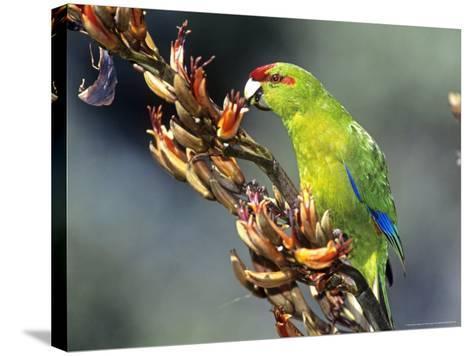 Red-Crowned Parakeet, Cyanoramphus Novaezelandiae Feeding on New Zealand Flax, New Zealand-Robin Bush-Stretched Canvas Print