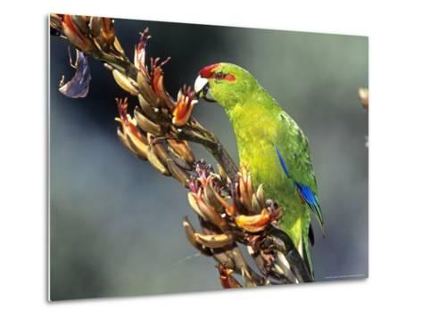 Red-Crowned Parakeet, Cyanoramphus Novaezelandiae Feeding on New Zealand Flax, New Zealand-Robin Bush-Metal Print